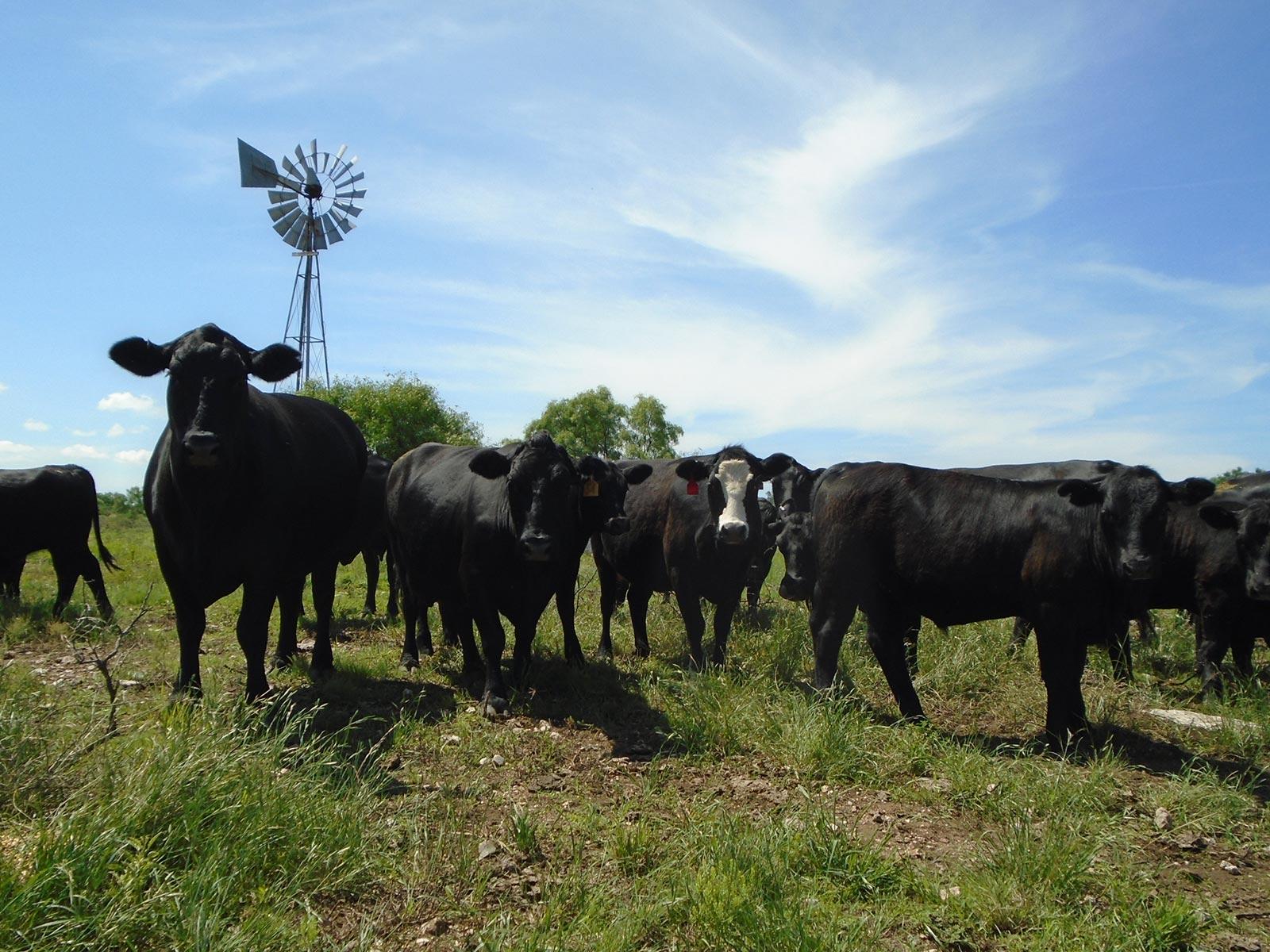 4k Cattle